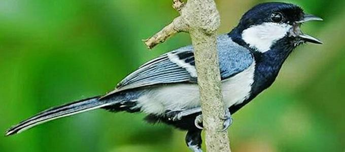 Info Lengkap Harga Dan Cara Merawat Burung Gelatik Batu Daftar Harga Tarif