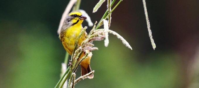 Cara Merawat Dan Harga Terbaru Burung Mozambik Daftar Harga Tarif