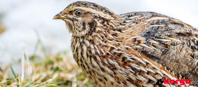 Harga Burung Puyuh Petelur Indukan Dan Anakan Untuk Bisnis Ternak Daftar Harga Tarif