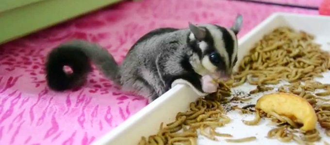 Sugar Glider Joey - (Youtube: homejoey sugarglider)