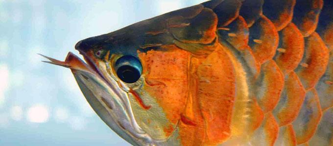 Jenis Dan Harga Ikan Arwana Termahal Daftar Harga Tarif