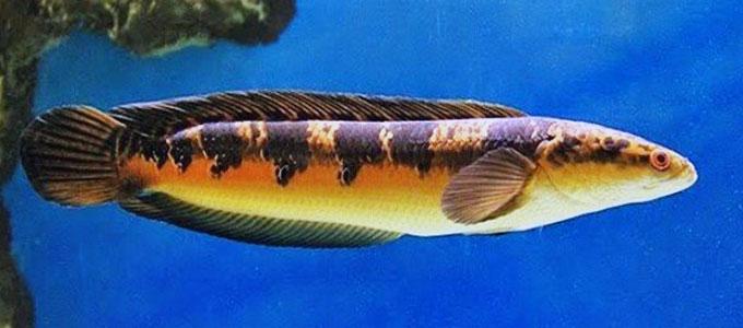 Info Lengkap Harga Ikan Gabus Hias Di Pasaran Daftar Harga Tarif