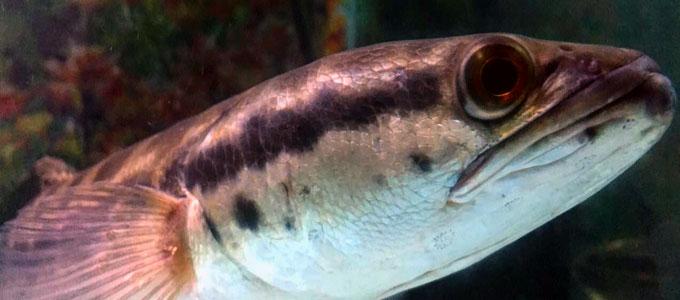 Info Harga Ikan Toman Di Pasaran Daftar Harga Tarif