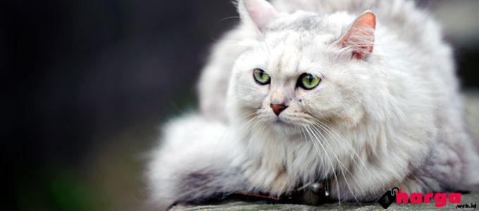 Unduh 93+  Gambar Kucing Ras Terbaik HD