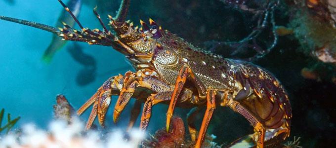 Info Harga Berbagai Jenis Lobster Air Laut Daftar Harga Tarif