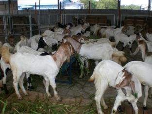 harga kambing terbaru