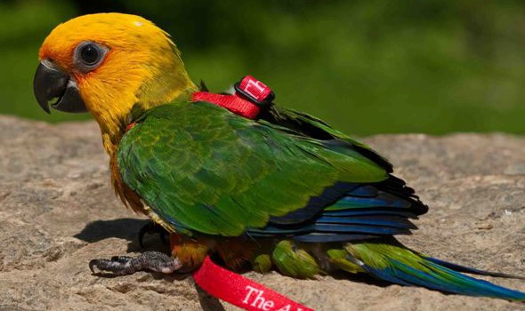 Adapting A Bird To A Flight Harness
