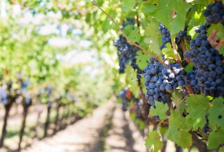 bunches of blue grapes in vineyard