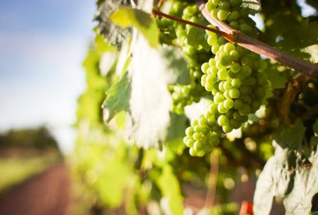 white grapes in field