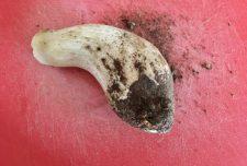 foot of porcini