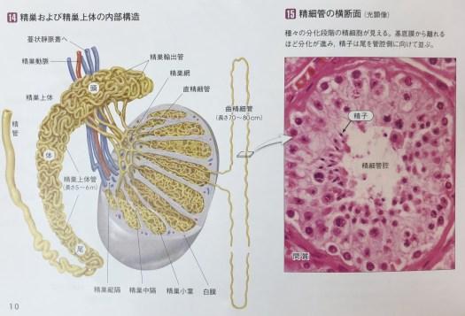 精巣及び精巣上体の内部構造