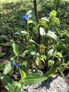 鴨跖草・ツユクサの花の写真