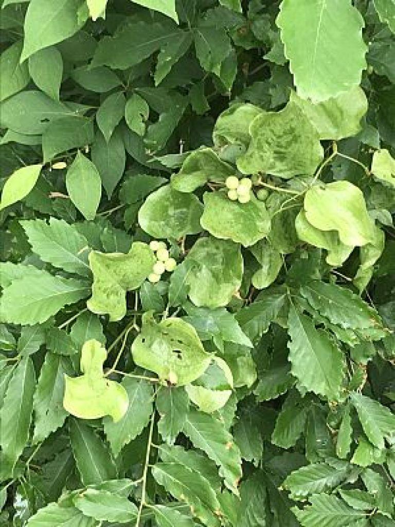サルトリイバラ、山帰来の実成熟果実の写真