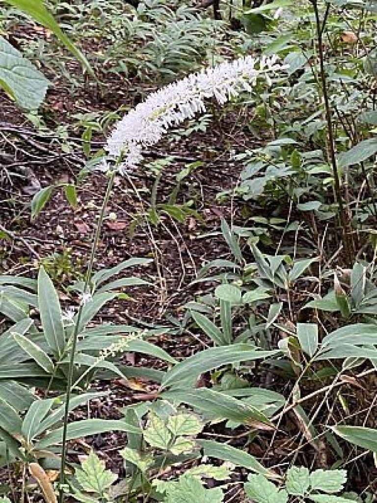 金剛山の野草サラシナショウマ