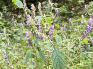 ナギナタコウジュ・香薷の花