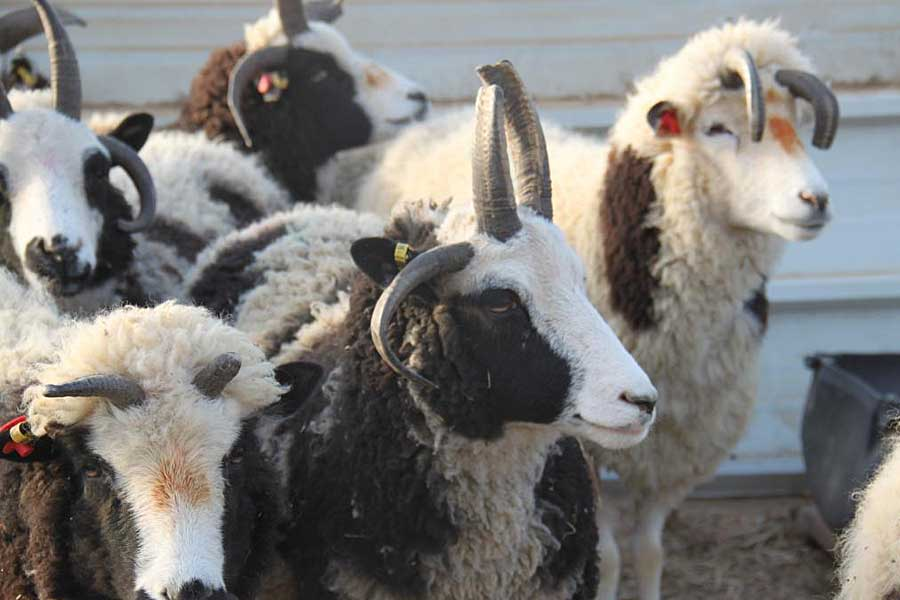 Bible Code Ungkap Peran Akhir Zaman Kelahiran Domba-Domba Yakub Pertama di Israel Dalam 2000 Tahun
