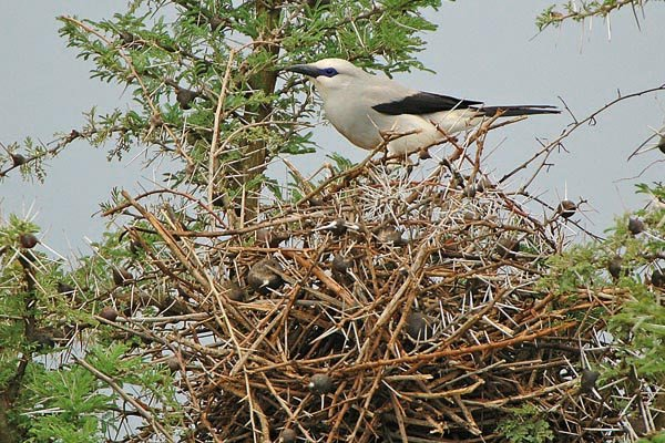 Ethiopian Bush-crow