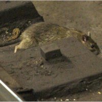 Rats, The MTA Has Decided To Raise Subway Fare To $3 From Harlem To Hollis