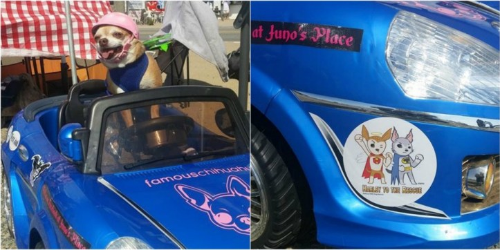 "Juno and her car - displaying a ""Harley & Teddy"" sticker!"