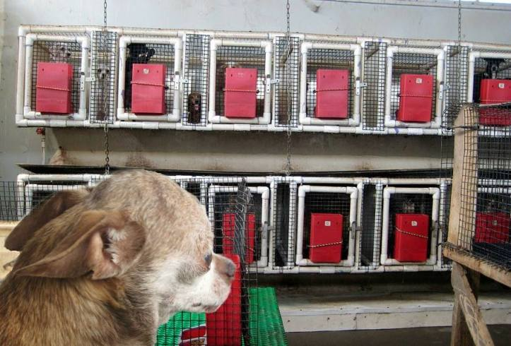 Harley, looking inside a USDA approved puppy mill.