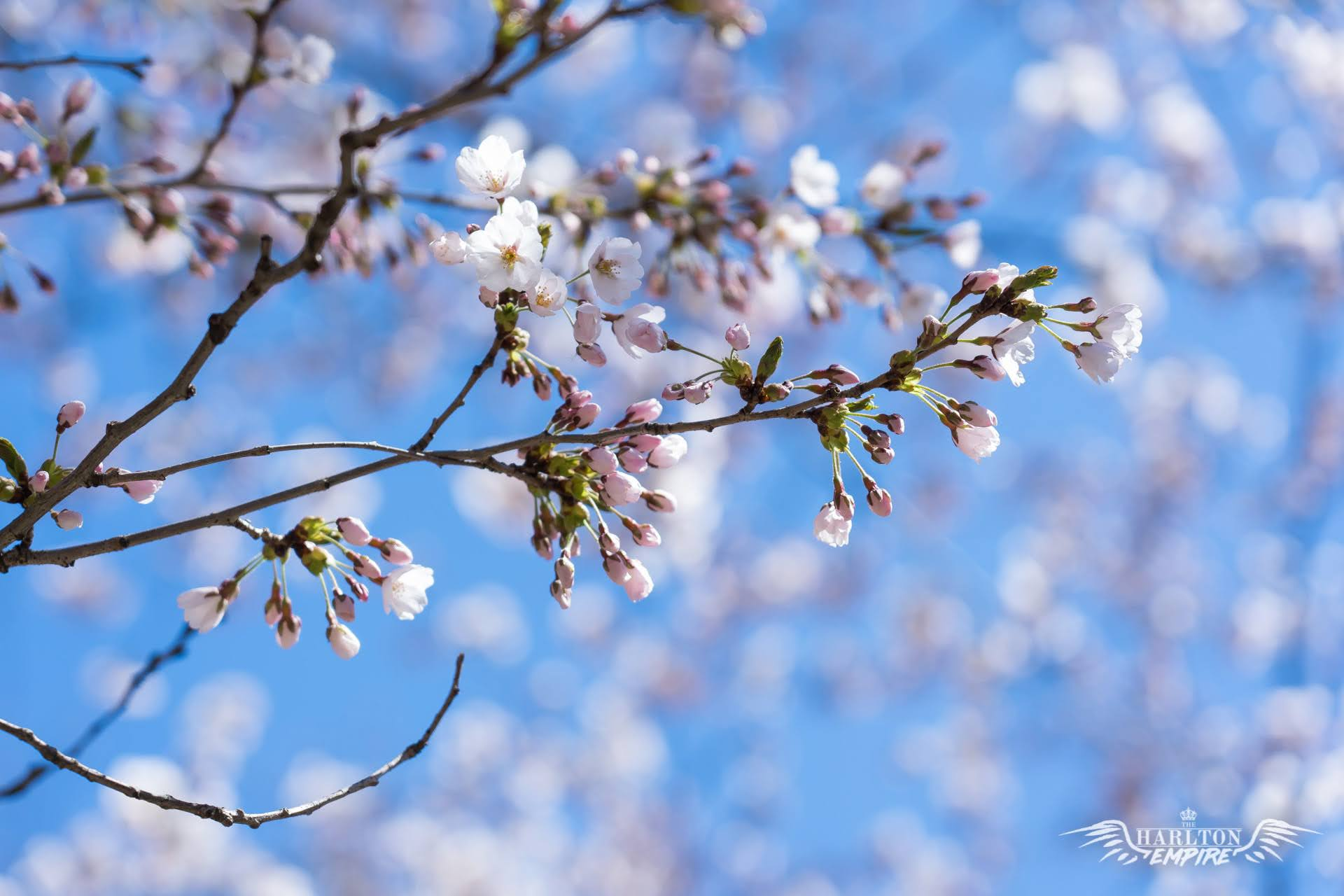 10 Free Cherry Blossom Zoom Backgrounds Screensavers