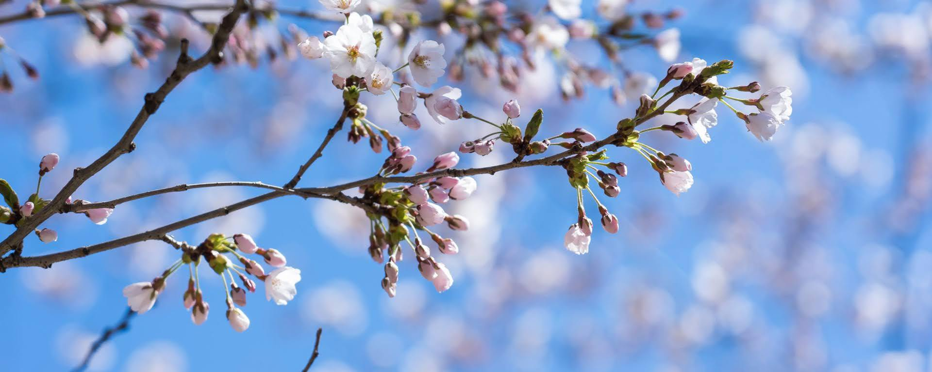 10 Free Cherry Blossom Zoom Backgrounds & Screensavers