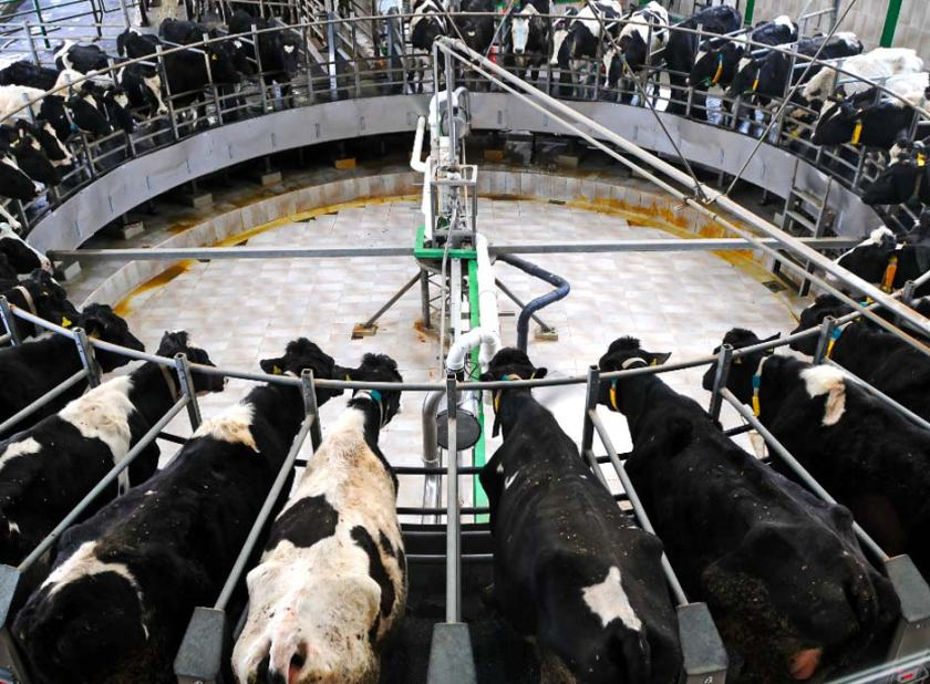 factory_cattle