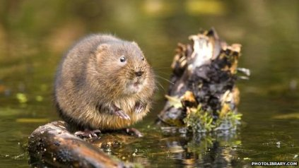 _66453620_european_water_vole_1