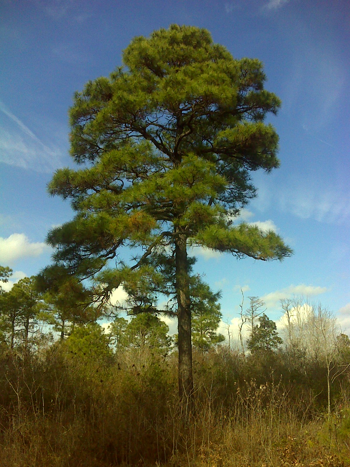 Pines, humans, genome…