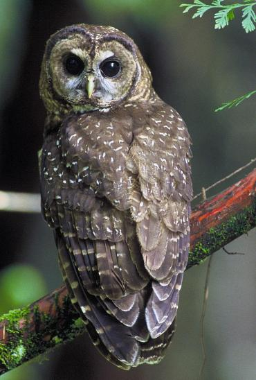 Northern_Spotted_Owl