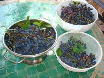 grapes - picked