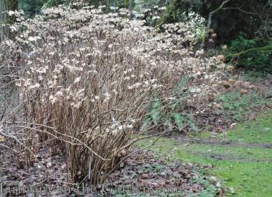 Hydrangea aspera Sargentia copy