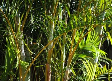 'Atlas' Palm