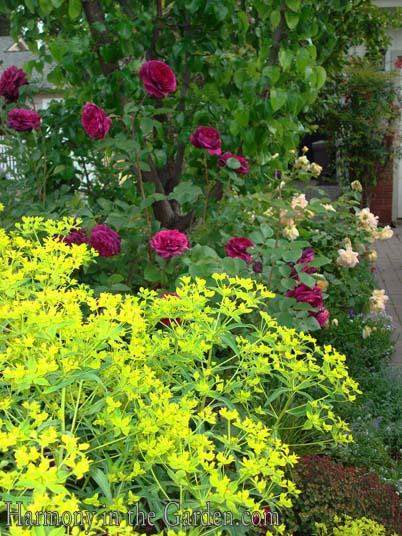 E. ceratocarpa & The Prince rose