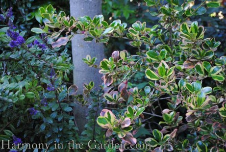 Coprosma 'Pink Splendor' in the shade