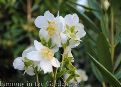 Carpenteria californica (Bush Anemone)