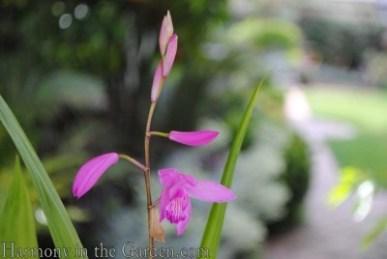 Ground orchid (Bletilla striatta)