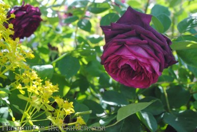 'The Prince' rose