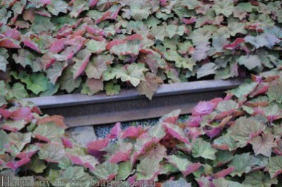 Heuchera villosa 'Brownies'