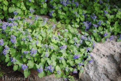 Nepeta 'Little Trudy'