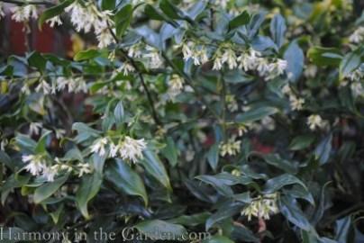 Sarcococca rustifolia