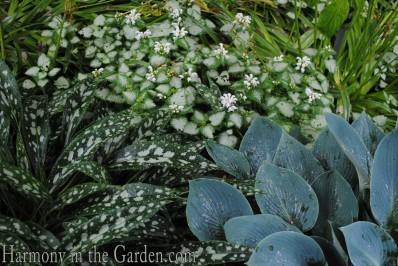 variegated foliage