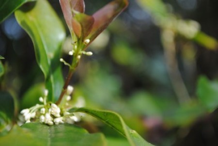 Osmanthus fragrans flower