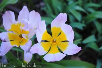 Species tulip 'Lilac Wonder' copy