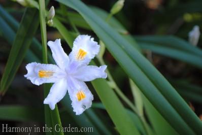 iris confusa bamboo lily copy