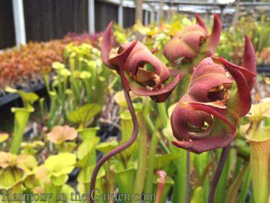 Pitcher Plant flowers