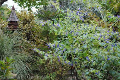 Salvia 'Mexican Limelight'