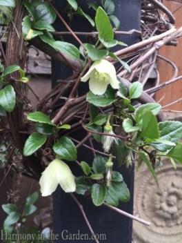 Clematis cirrhosa 'Wisley Cream' copy