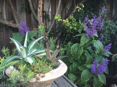 plectranthus-ecklonii-and-agave
