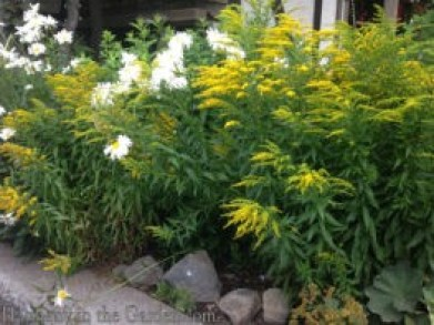 solidago-fireworks-at-tahoe